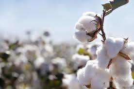 cotton-exports-marketexpress-in