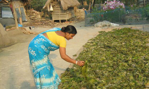 seaweed-sundarbans-drying-marketexpress-in