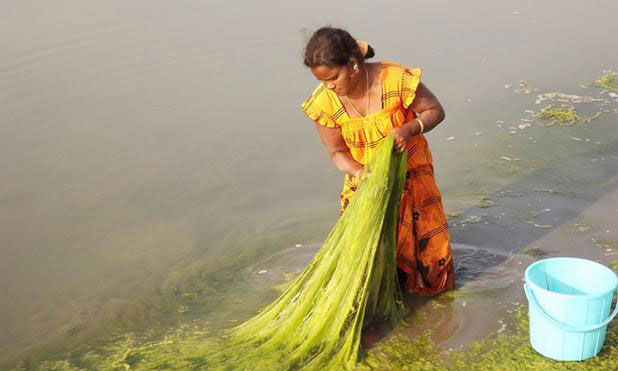 seaweed-sundarbans-marketexpress-in