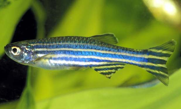 zebrafish-spinal-cord-marketexpress-in